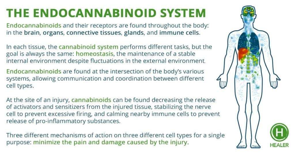 Depiction of the endocannabinoid system